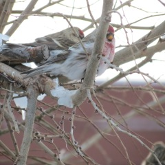 Species 84, Hoary Redpoll with Common Redpoll