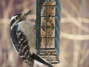 Downy on Suet feeder