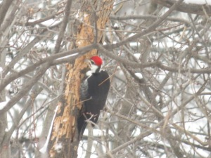 Pileated Woodpecker works tree over across the street in Gatineau Park