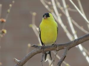 Goldfinch photo Cris Navarro