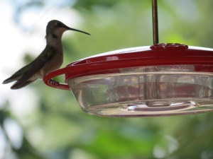 Young Ruby-throated Hummingbird visits the feeder on August 10