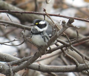 Black-throated Gray Warbler, Deschenes Rapids, Ted Cheskey