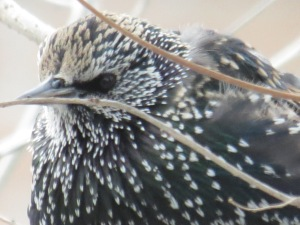 European Starling giving me the eye