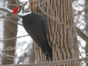 Pileated Woodpecker across the street