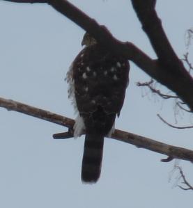 Sharp-shinned Hawk calms down anxious Cardinal