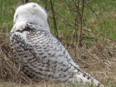 Snowy Owl stretches its neck