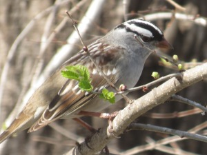 Our 5 month old Christmas tree is like home for the White-crowned Sparrow, headed to the high boreal forest