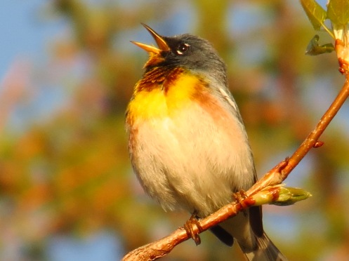Image of a Northern Parula by Ted Cheskey